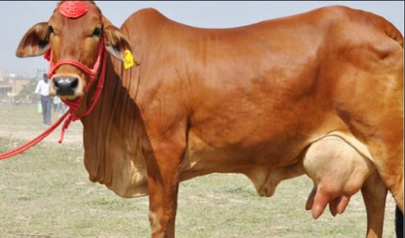 देसी गाय का दूध अमृत समान क्यों हैं(benefit of cow milk)
