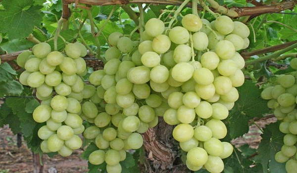 Grapes Best Fruits for Daily Health & Daily Diet in Hindi Kiwi cherries